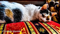 Schmuse Emilia (Bernsteindrache7) Tags: autumn indoor pet red animal color cat home house handy