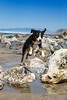 Mattie Can Fly! (macdogtrainer) Tags: greaterswissmountaindog swissy mattie poozer fortfunston sanfrancisco sf