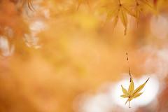 Walking in the air (chibitomu) Tags: canon 5dmarkiii canonef100mmf28lmacrois autumn leaf macro maple nakain temple yellow kawagoeshi saitama japan       chibitomu