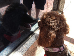 Bruno Likes To Look at His Own Reflection (lesliezemenek) Tags: brown puppy tuxedo bruno standardpoodle partipoodle