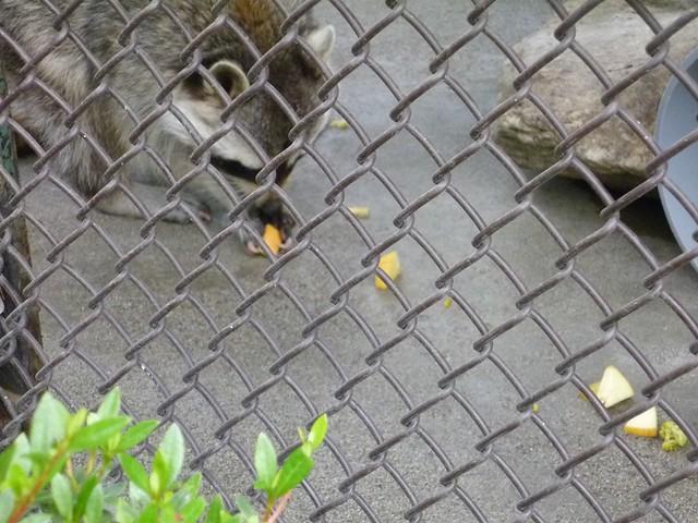 やっとエサをもらえたムック♪|須坂市動物園