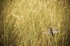 Libellule (Logan.59) Tags: macro canon 100mm logan dunkerque libellule macrophotography 50d macrophotographie