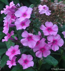 Pick Me, Pick Me. (Scott Lennon) Tags: pink flowers copyright colour floral photography stem bright buds shoots 2013 scottlennon