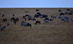 DSC_8408 (H Sinica) Tags: balloon safari zebra hotairballoon wildebeest savanna masaimara maasaimara 气球 肯亞 肯尼亚 马赛马拉