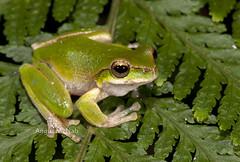 Kroombit Tree Frog (Litoria kroombitensis) (Gus McNab) Tags: litoria kroombitensis