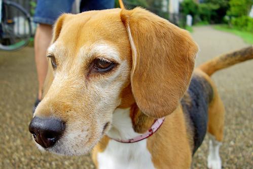 Beagle Dog, Nile (♀)