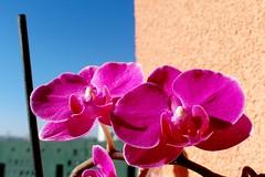 SAM_3063a_jnowak64 (jnowak64) Tags: poland polska krakow natura makro cracow kwiaty mik malopolska przyroda bronowice lato krakoff storczykorchidea