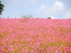 PA063917 (daviddontdance) Tags: sanfrancisco pink flower de mexico jalisco sierra quila 2013 sierradequila