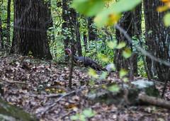 Wild Turkey on Kennesaw Mountain (StephenGA) Tags: georgia kennesaw 6d 24105 kennesawmountain 24105mm 2013