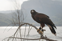 Llança (idni . idniama) Tags: naturaleza 50mm nikon eagle gettyimages 2013 pantàdesau miradainquietante idni gettyimagesiberiaq3 àguiladeharris