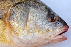 Freshwater Drum (Aplodinotus grunniens) (piscator_4) Tags: fish fishing drum greatlakes prey fishes freshwater sheepshead aplodinotusgrunniens coarsefishes freshwaterfishes freshwaterdurm