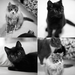 Two Hundred and Sixty Three / Year Two. (evilibby) Tags: blackandwhite bw cats cute blackwhite furry mosaic adorable fluffy kittens whiskers katla hekla project365 lmshouse