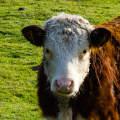 Hereford calf, Northycote Farm (Dave_A_2007) Tags: animal cow mammal nature wildlife wolverhampton england