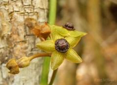 MFlower Riachinho_020054Web (Marcelo Pirajá) Tags: flora mata ecologia flôres meioambiente ciliar pndachapadadiamantinabahiabrasil rioriachinho