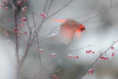 Cardinal and Crabapples_41322.jpg (Mully410 * Images) Tags: winter snow cold tree bird birds backyard cardinal birding birdwatching birder crabapple northerncardinal