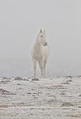 White on White (RondaKimbrow) Tags: park winter horse white snow animal fog season mammal colorado atmosphere denver rondakimbrowphotography