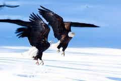 IMG_3659 (judd.furlong) Tags: iowacity canoneos eagles