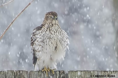 Checking the menu (Summerside90) Tags: winter snow ontario canada bird nature birds fence garden backyard hawk wildlife february birdwatcher coopershawk