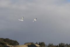 Dos espátulas volando en La Charca