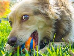 Cutie Dog Eyes (aleksandr.kalininskiy) Tags: newyork macro grass ball puppy spring unitedstates olympus laika cutedog aussie omd cuteeyes em10 dogplayswithball