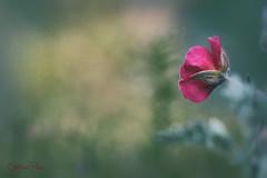 Fairy tale (Steph ) Tags: pink flower macro berlin texture fairytale canon eos bokeh rosa 100mm tiny makro botanicgarden blte mrchenhaft botanischergarten 600d