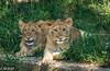 Lion Cubs (m_hamad) Tags: park nature beauty animal canon zoo dc washington king leo farm wildlife lion explore jungle nationalzoo cubs panther taronga nationalgeographic felidae supershot 60d abigfave canon60d ultimateshot dazzlingshots blinkagain