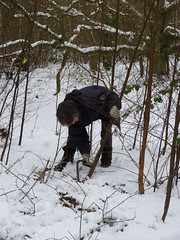 Coppicing in the snow