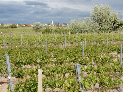 Vineyards Illmitz Austria - 6