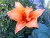 Rosh flower