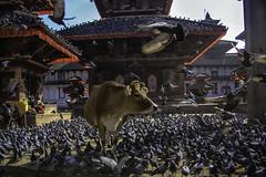 Always Shy, Elmer Worried About Fitting In (Culture Shlock) Tags: travel nepal birds animals mix cows kathmandu mixing outofplace belong fit publicplaces fittingin strangebedfellows mixedup