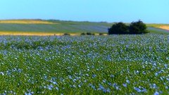 and imagine the sea just behind the blue fields (Ker Kaya) Tags: blue morning flowers flax kerkaya fz200 green lin fdekerkaya ker kaya artist photography dmcfz200 kerkayaphotography