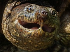 Snapping turtle_2014.06.17 (5 of 5) (Urutu_From_SW_PA) Tags: turtle snapper snappingturtle commonsnappingturtle commonsnapper easterncommonsnappingturtle