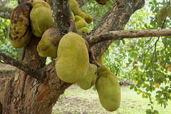 Jack Fruit (patriciacorsiatto) Tags: florida homestead redland
