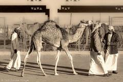 Vendeurs de chameau Emirati (Darth Jipsu) Tags: people gens awesome sepia black white noir et blanc uae eau miratsarabesunis emirates emirati chameau