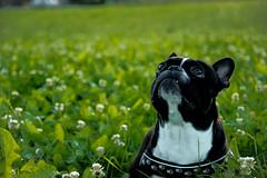 Jimmy der Hund (Rudi Brgger) Tags: anderestichwrter hund dog black bern bulldog boston terrier white schweiz schwarz weiss sweet switzerland wiese green grn tag portrait hundeportrait angry bse licht light hundeblick
