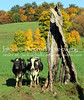 Cows Pose bt Tree Stump 5816 (intricate_imagery-Jack F Schultz) Tags: jackschultzphotography intricateimageryphotography amishcountry ohioamish southeasternohio cows animals cowsposing treestump