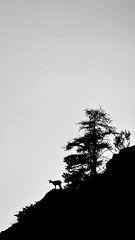 Camoscio (MILESI FEDERICO) Tags: federicomilesi milesi nikond7100 d7100 sigma150500 piemonte wildlife wild quadronaturale nat natura nature silhouette camoscio mammifero sagoma controluce contrasto altavallesusa valdisusa valliolimpiche visitpiedmont europe eur travel biancoenero blackwhite blackandwhite bn monocromatico montagna alpi alpicozie iamnikon