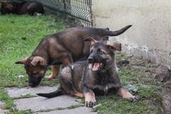 Deutscher Schferhund DDR-Linie (blumenbiene) Tags: hund hunde dogs dog puppies puppy welpe welpen deutscher schferhund german shepherd ddr linie line