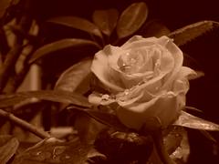 Una pequea rosa amarilla. (Xic Eseyosoyese (Juan Antonio)) Tags: una pequea rosa amarilla que recin ha brotado de nuestro rosal macro sepia plantas en la casa maceta flor nikon coolpix s33 ptalos hojas gotas roco agua