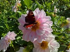WP_20160930_10_49_04_Rich (vale 83) Tags: butterfly microsoft lumia 550 wpphoto wearejuxt friends macrodreams colourartaward