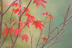 Maple in the mist / Ahorn im Nebel (be there...) Tags: nebel mist fog color red autumn leaves herbst laub frbung flower plant maple ahorn nikon d90 korzec flickrbronze