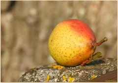 Herbstfrucht (mayflower31) Tags: frucht fruit obst birne pear
