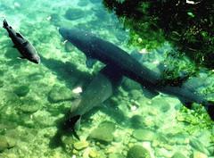 Two sturgeon (EcoSnake) Tags: sturgeon whitesturgeon livingfossil fish prehistoric water wildlife september idahofishandgame naturecenter