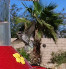 October 15, 2016 (3) (gaymay) Tags: california desert gay love happy riversidecounty coachellavalley hummingbird flying bird wings feathers palmsprings