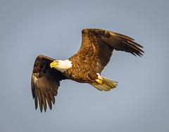 Conowingo Eagle (tresed47) Tags: 2014 20141201conowingobirds birds canon7d conowingo content eagle folder maryland peterscamera petersphotos places takenby us ngc