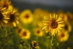 zonnebloemen (de_frakke) Tags: sunflower zonnebloem flower bloem geel tornesol sonnenblume yellow girasol  girasole