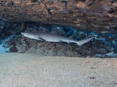"""Tiburn de Arrecife de Punta Blanca, """"Triaenodon obesus"""" - Karam Masmarit - Reef (Sudan - Red Sea) (JuanAnd-erwater) Tags: seleccionar"""