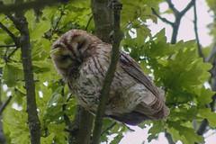 Happy Weekend !! (Kay Musk) Tags: tawnyowl strixaluco owl oaktree gardenwildlife wildlife wild nature nikond3200 essex uk bird birdofprey ngc