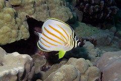 baby ornate (BarryFackler) Tags: butterflyfish fish seacreature hawaiiisland konadiving coralreef 2016 honaunaubay scuba animal kikakapu chaetodonornatissimus ornatebutterflyfish cornatissimus water sea bay ocean saltwater hawaiianislands marine bigislanddiving organism sealife ecology zoology biology marinelife hawaii southkona pacificocean being creature vertebrate konacoast life marineecology tropical undersea outdoor island reef aquatic marineecosystem bigisland underwater pacific westhawaii ecosystem coral polynesia sealifecamera sandwichislands dive fauna hawaiicounty diver kona diving marinebiology honaunau hawaiidiving barryfackler barronfackler nature