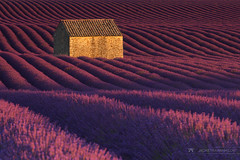 The Lavender Palette (Jackie Tran Anh) Tags: pink purple lavender field flowers france valensole rows house alone lonely sunshine sun sunrise sunet outdoor landscape